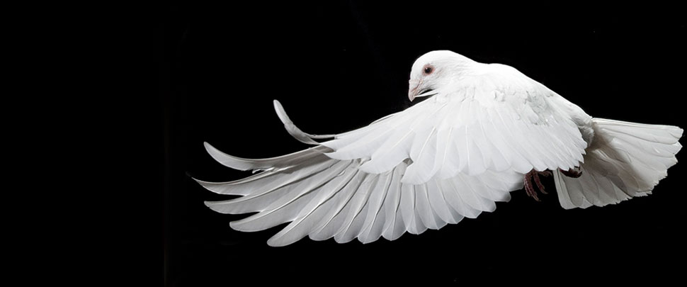White bird flying on a black background