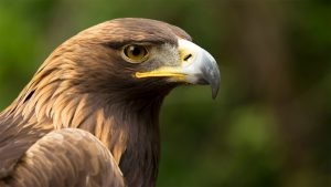 Golden Eagle close up with natural background