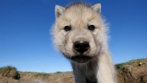 Arctic wolf cub looking to lens. Ellesmere Island, Canada.