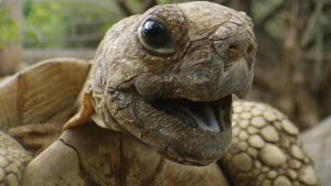 Close up image of a turtle with his mouth open