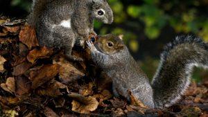Squirrels grabbing a tree nut