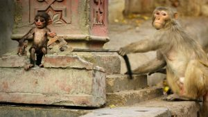 A macaque pulls the tail of one of the spycams that is disguised as a monkey