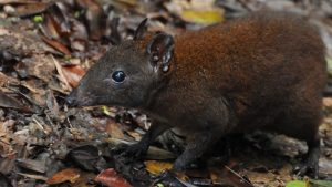 Prehistoric rodent from Australia