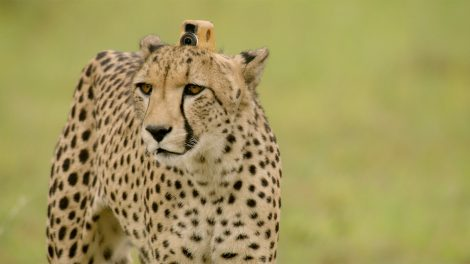 Cheetah wearing a collar-mounted camera