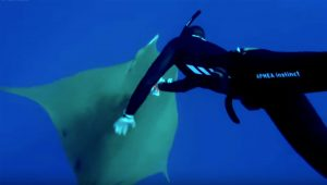 SCUBA diver placing a camera on a manta ray