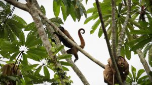 A Woolly monkey keeping watch from the safety of a high tree. Yasuni Biosphere Reserve, Ecuador.