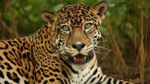 Closeup photo of a spotted jaguar