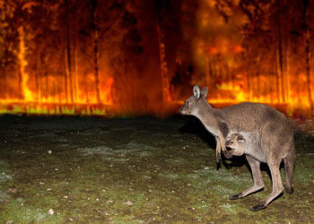 A kangaroo with a joey in her pouch standing in the foreground looking back toward a wall of fire in the background