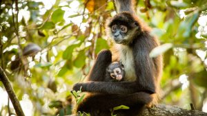 A spider monkey with her baby sitting on a tree limb