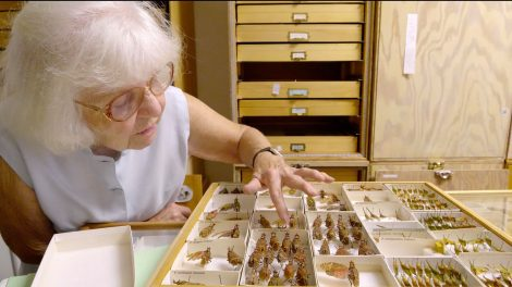 Entomologist Lois O'Brien, an elderly woman with white hair and glasses, looking over a collection of insects