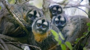 A family of Owl monkeys, also known as Azara's night monkeys (Aotus azarae). They live in small, tightly bonded, nuclear families.