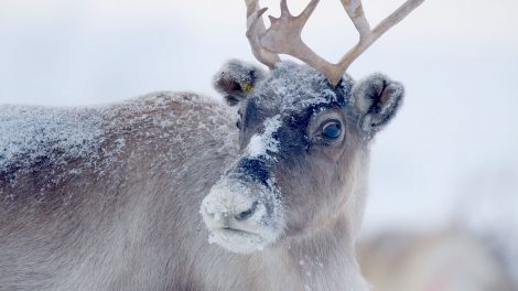 A reindeer with snow on his coat