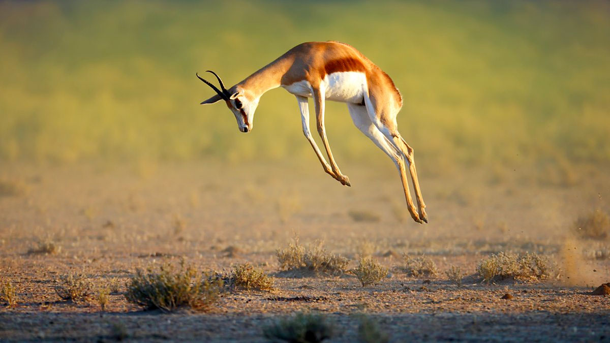 A springbok leaping straight up in the air