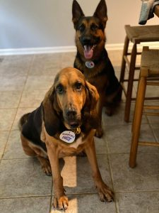 """Two dogs--a German Shepherd and a Bloodhound--wearing """"I heart KET"""" stickers on their collars"""