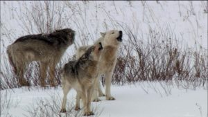 Three wolves in the snow, howling together