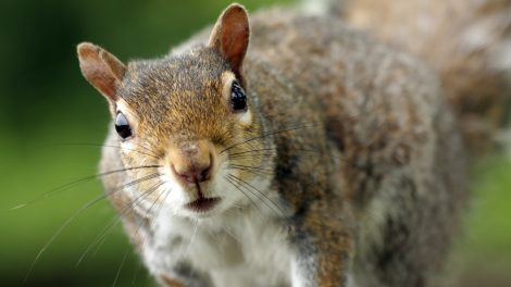 Close up photo of a gray squirrel looking toward the camera