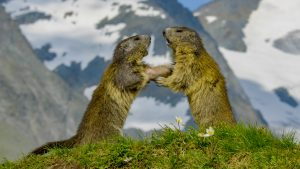 Two marmots sitting up on their hind ends and facing each other with snow-covered mountains in the background