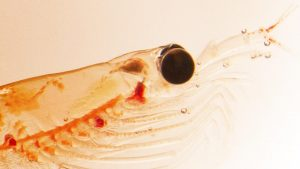 Closeup image of krill under a microscope