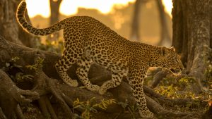 A young leopard walking over large tree roots in a forest with golden late day sunlight in the background