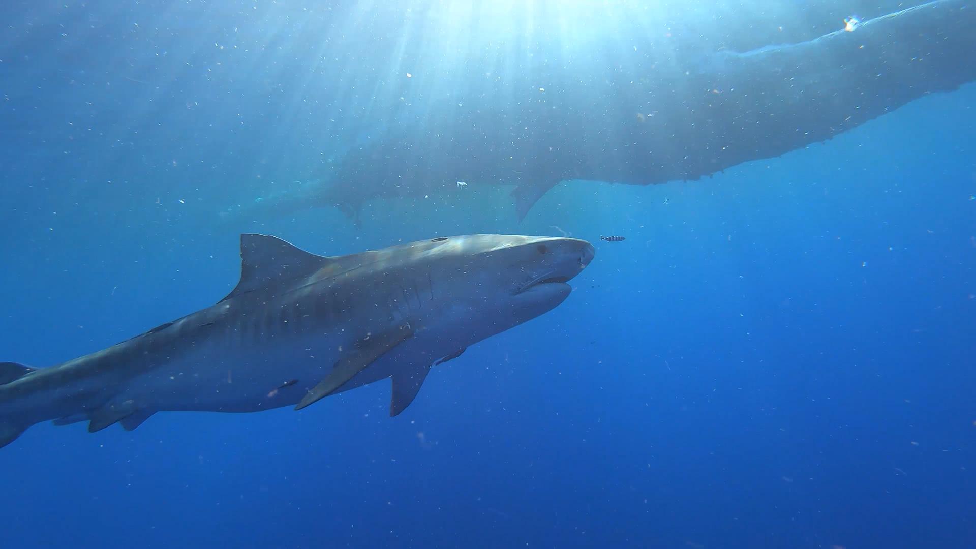 Tiger Shark approaching a dead Sperm Whale carcass.