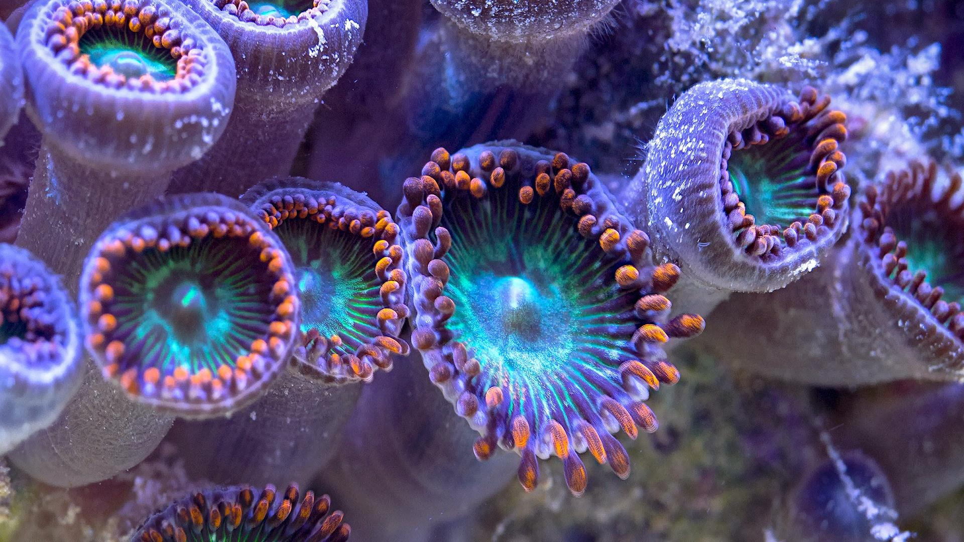 Closeup of live coral, which is purple on the outside and with a teal interior surrounded by orange tenatacles