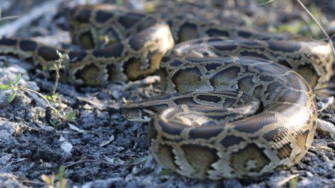 A Burmese python coiled on the ground