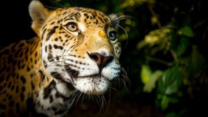 Jaguar (Panthera onca), South/Central America. Jaguars are the largest cat in the Americas and have a bite to match. For their size, it's the strongest of any cat, allowing them to dispatch monstrous prey such as caiman crocodiles. © BBC/Paul Williams.
