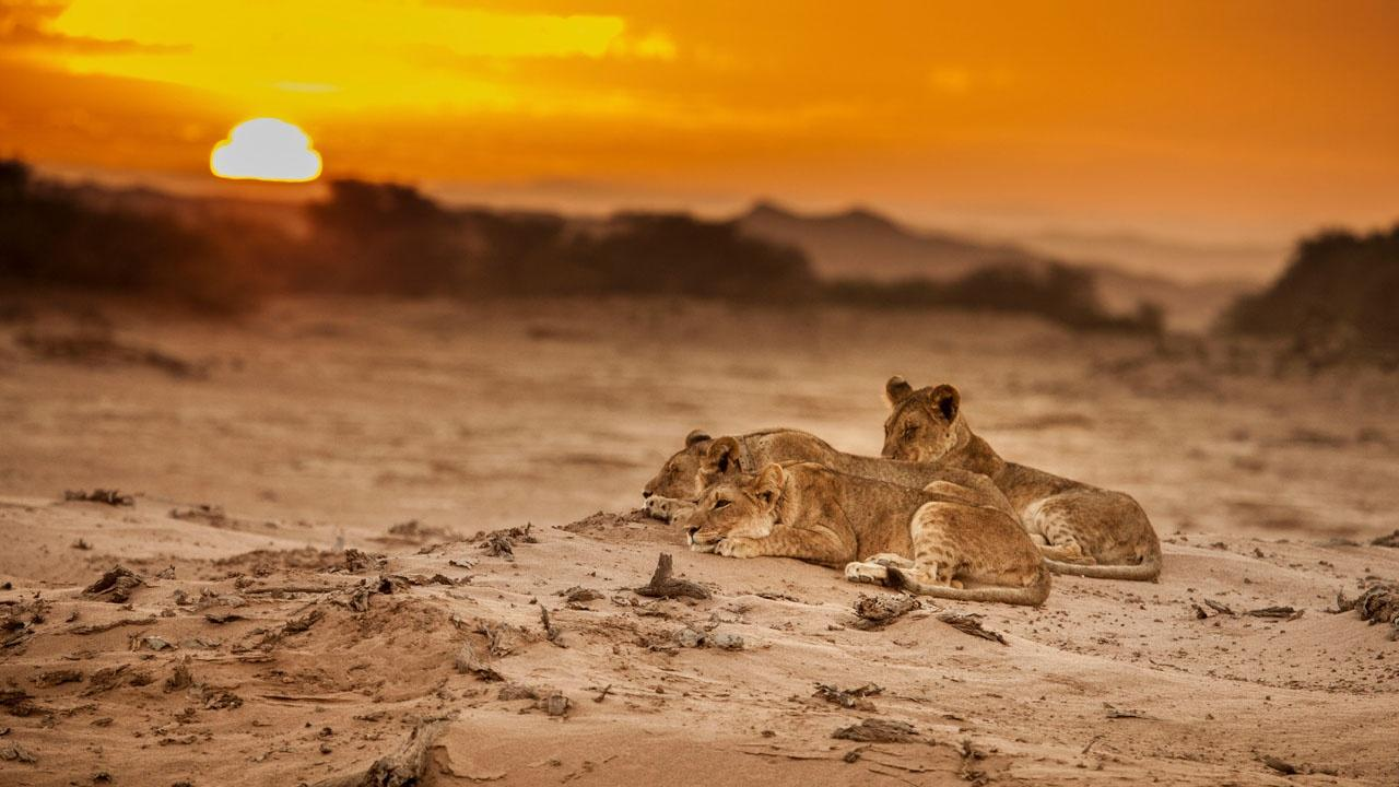 Three young lions lying on an arid, sandy ground at sunset
